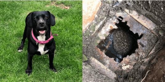 Собака Рози спасла ежика от смeрти, позвав на выручку хозяйку