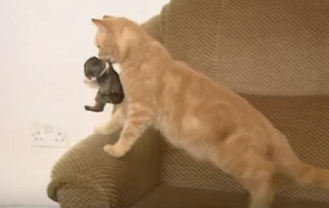 ВИДЕО: Кошка усыновила крольчонка-сироту