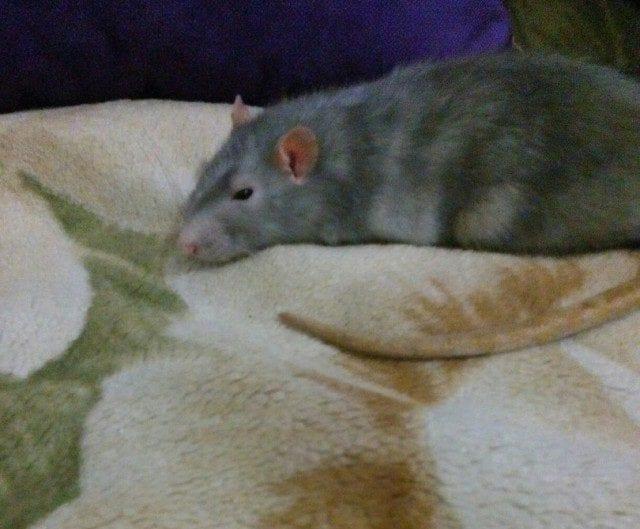 Невероятная история возвращения потерявшейся крыски Ксюши в семью