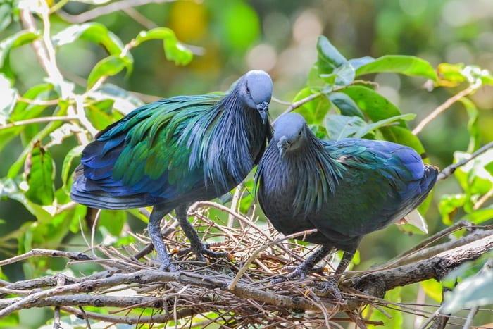 Самая красивая птица: никобарский гривистый голубь
