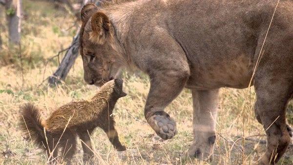 Два самых свирепых и безбашенных зверя в мире - с ними не рискуют связываться ни тигры, ни львы