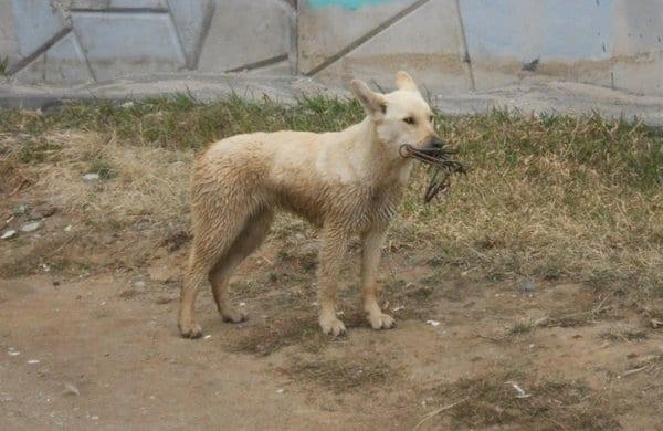 По городу бродила собака со странной металлической конструкцией на морде