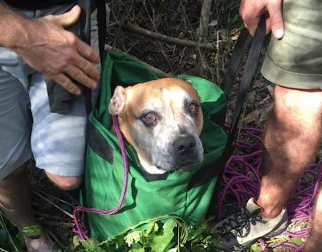 Находчивость помогла спасти найденного в ручье питбуля, повредившего лапы