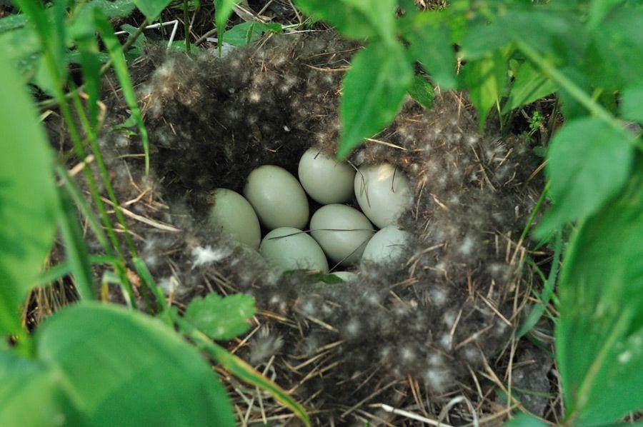 """В Перми люди нашли брошенное гнездо дикой утки и """"довысиживали"""" яйца дома"""
