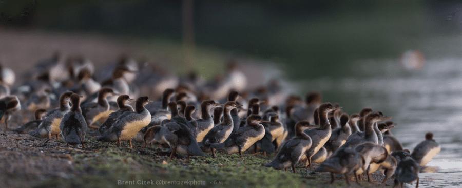 Фотограф снимал красоты озера, как вдруг увидел необычную утиную семью
