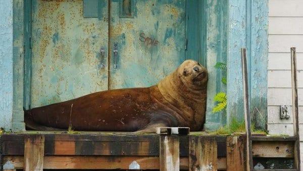 Полутонный морской лев решил переехать жить в город