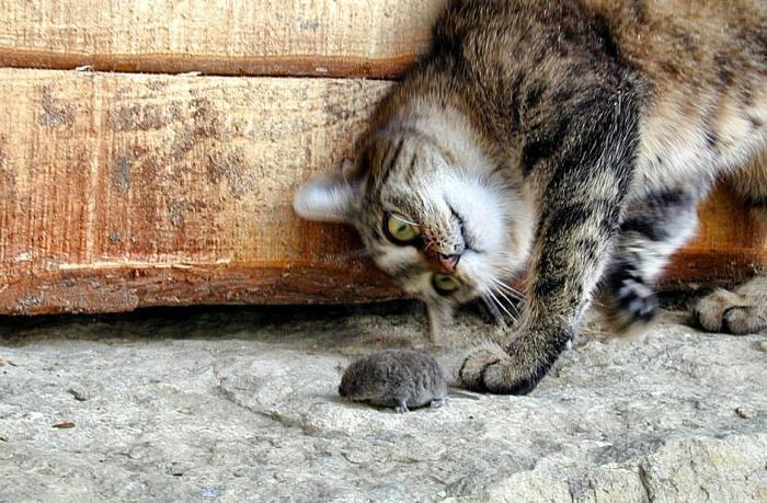 Как коты учатся ловить мышей