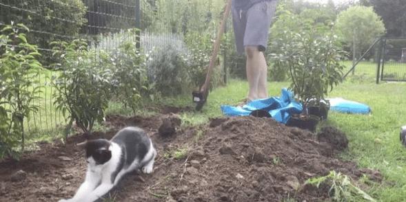 """ВИДЕО: Кот усердно """"помогает"""" хозяину в огороде"""