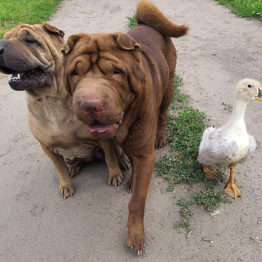 Два шарпея приняли утенка в семью, и тот считает себя собакой