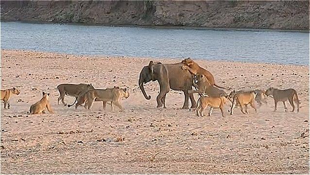 ВИДЕО: Слон спасся от 14 львов благодаря счастливой случайности