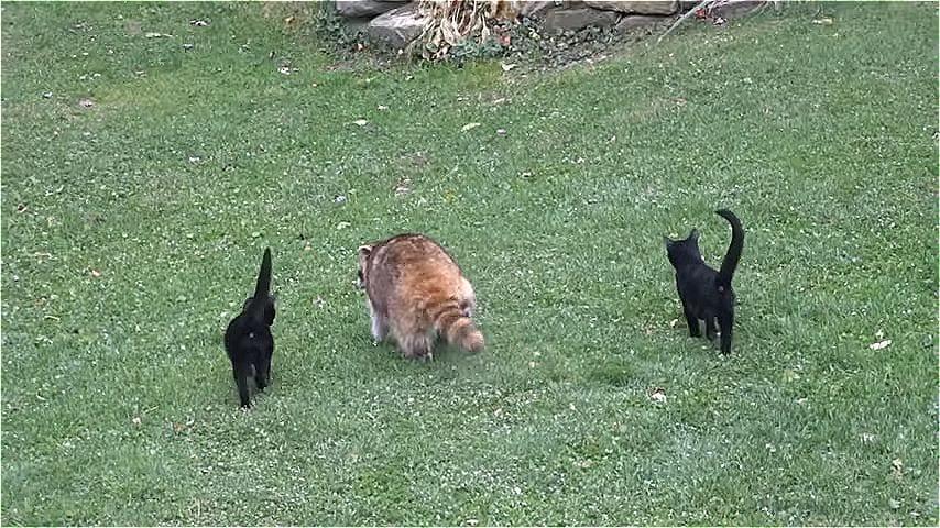 Женщина подкармливала слепого енота 5 лет, и однажды он пришел с двумя «телохранителями»