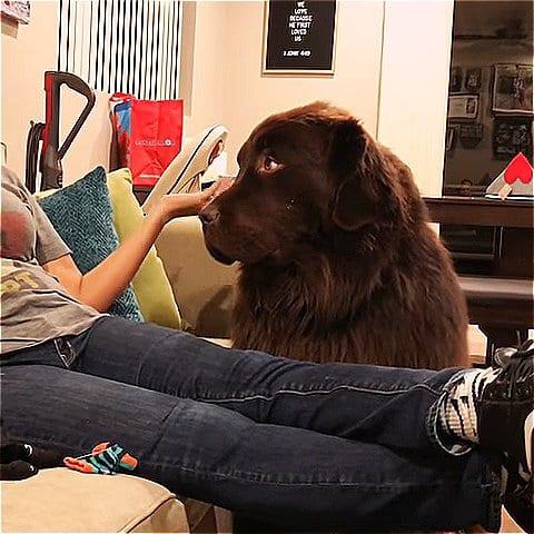 Обиженный пес не хочет разговаривать с хозяйкой и вынуждает ее извиниться