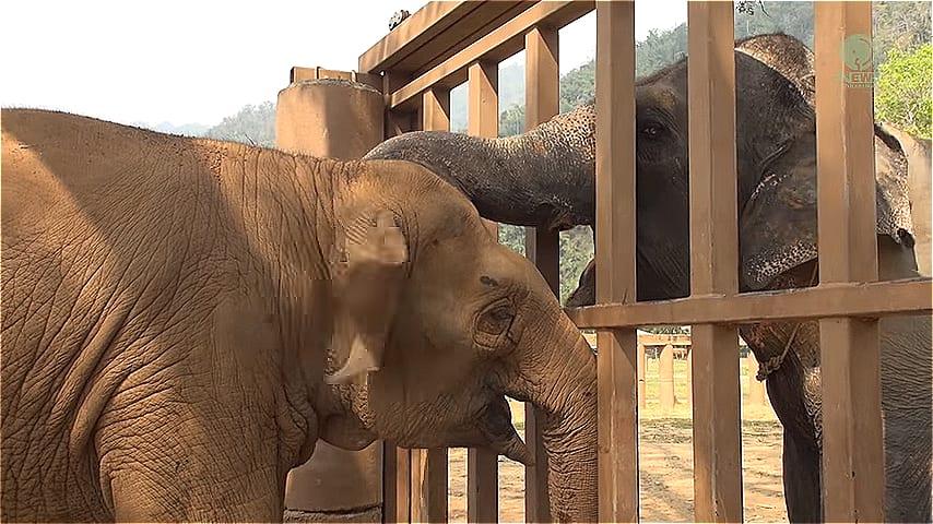 ВИДЕО: Слепая слониха улыбается после спасения