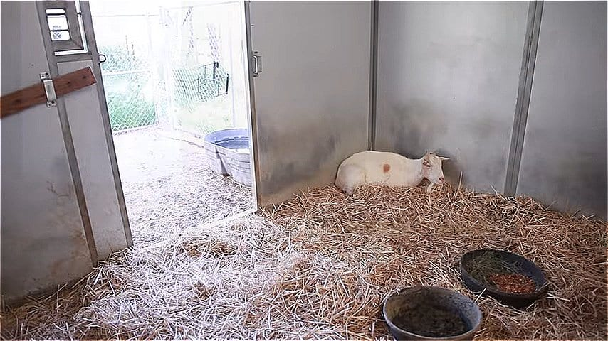 ВИДЕО: Козлик отказывался есть 6 дней, пока хозяева не поняли причину его депрессии
