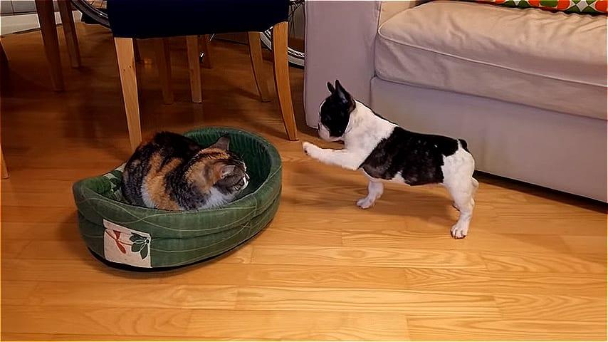 ВИДЕО: Мимимишная битва за кровать между котом и щенком