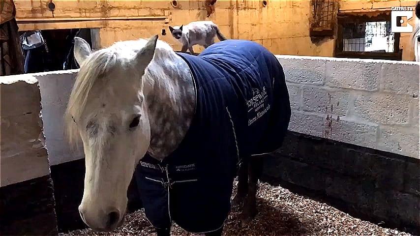 ВИДЕО: Кошка любит кататься на своем друге… лошади