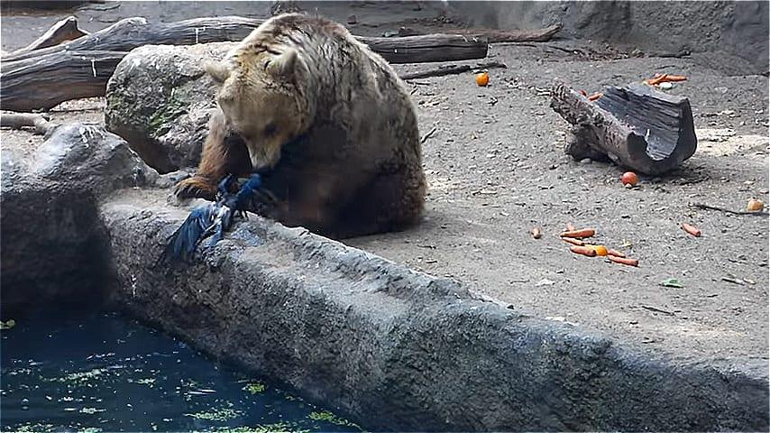 ВИДЕО: Ворона упала в воду и чуть не утонула. Ее спас... медведь.