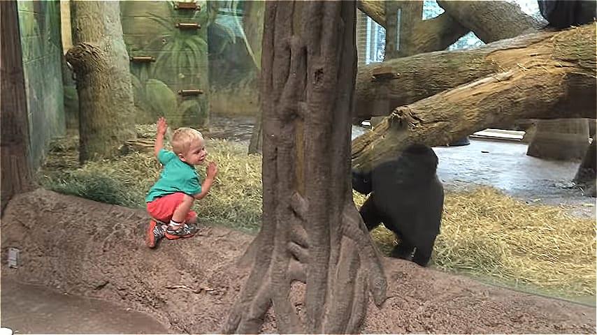 ВИДЕО: Веселая встреча малыша и детеныша гориллы в зоопарке
